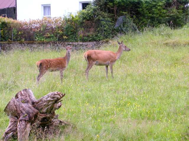 Deer grazing Isle of Arran.