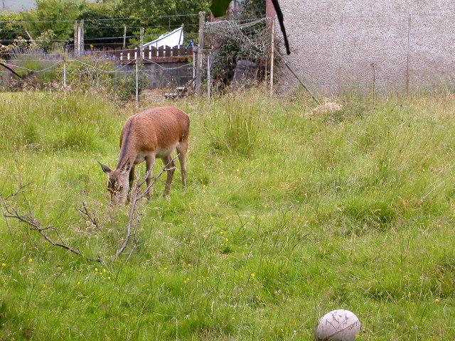 Grazing deer, Arran.