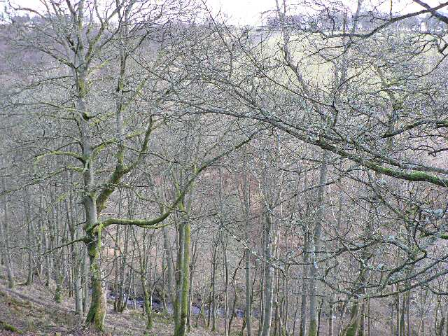 Woodland above the Buckny Burn