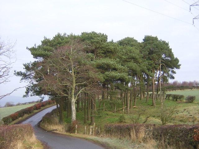 Stand of Pines Beside Calderside Road