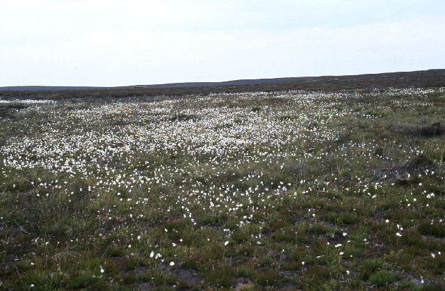 Cottongrass in Glen Convinth
