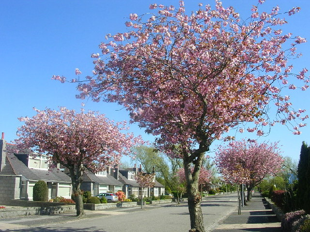 Cherry Blossom Trees in Westholme Avenue