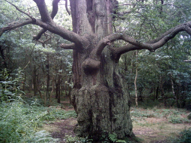 One of the many amazing trees in Sherwood Forest