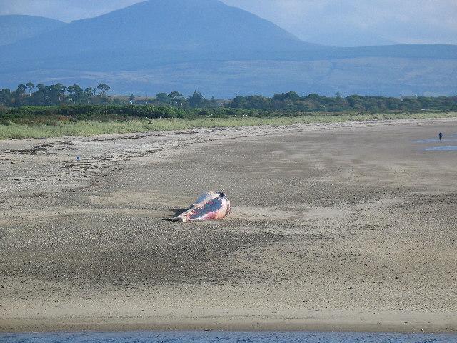 Minke Whale washed ashore Carradale Bay.