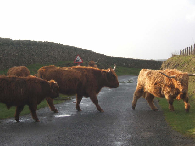 Cattle on road.