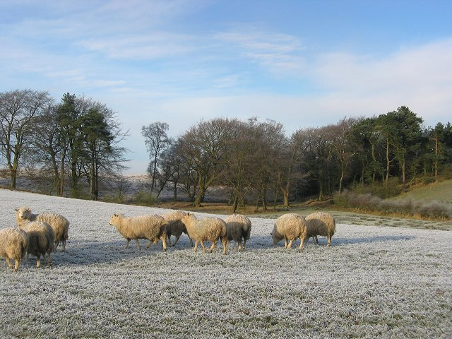 Sheep, near Mossend.