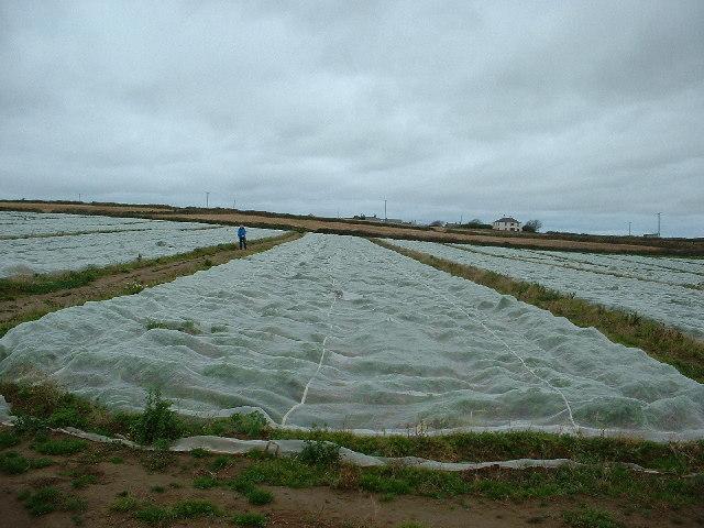 Crops near Treen