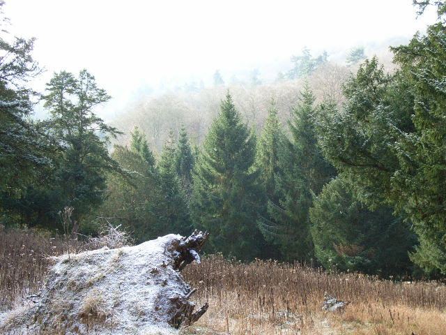 Conifers in Great Wood