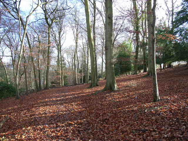 Beeches, Great Wood