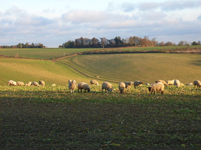 Sheep grazing next to Beacon Lane