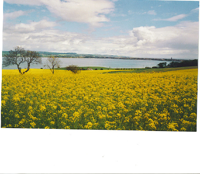 Rape field in bloom, Montrose Basin
