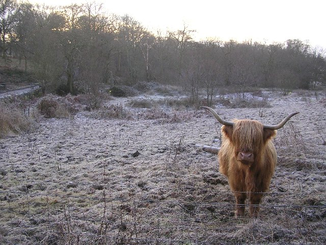 Highland Cow at Critreoch, nr Loch Lomond