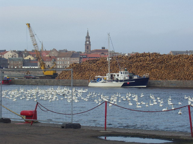 Swans in the dock at Berwick on Tweed