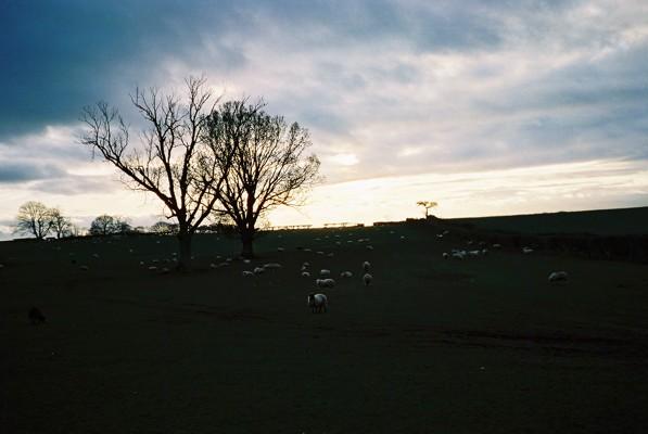 Sheep grazing, Black Hill