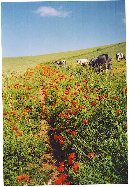 Poppies on South Downs