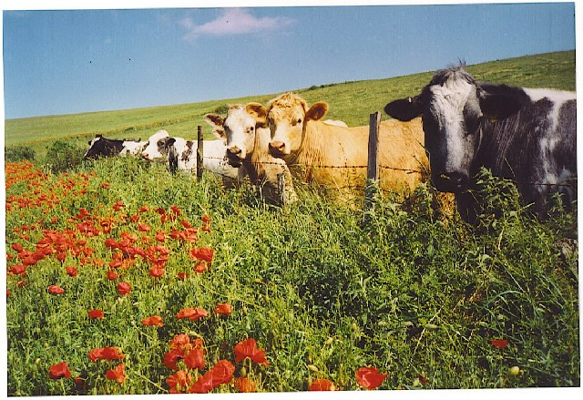 Poppies and cattle on the South Downs