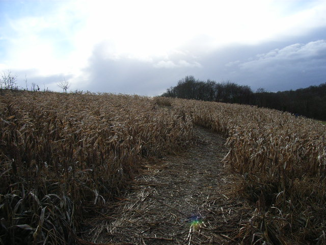 Maize field next to Moor Wood