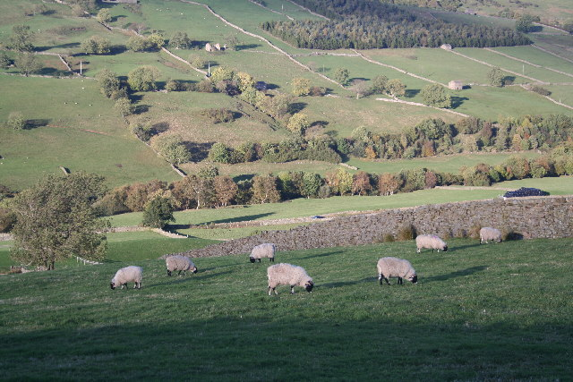 Sheep grazing in Upper Swaledale