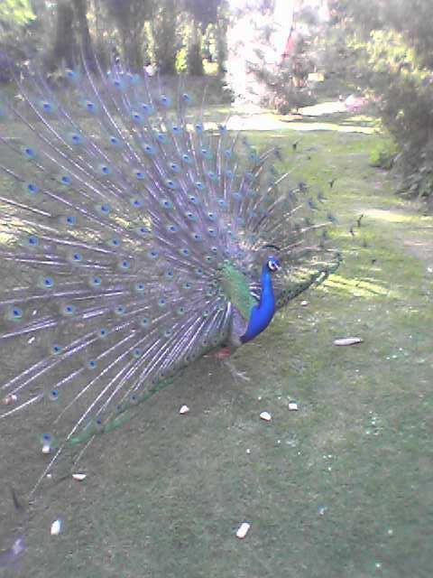 Peacock in Holland Park, Royal Borough of Kensington & Chelsea