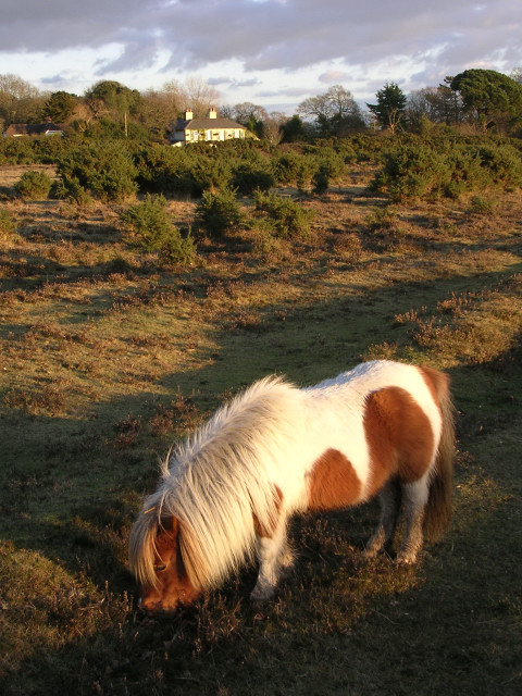 Miniature pony grazing on Setley Plain, New Forest