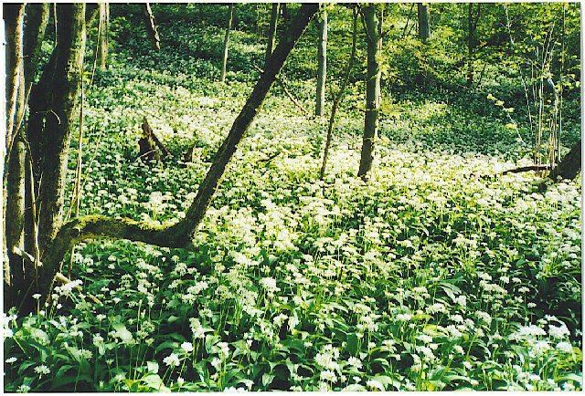 Wild garlic in bloom on the South Downs scarp.