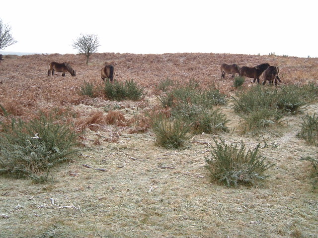 Exmoor Ponies between Cloutsham Gate & Stoke Pero