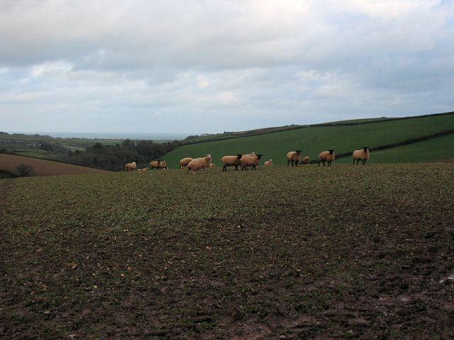South Hams sheep
