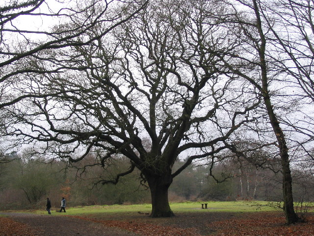 Qvist's Oak on Warren Hill
