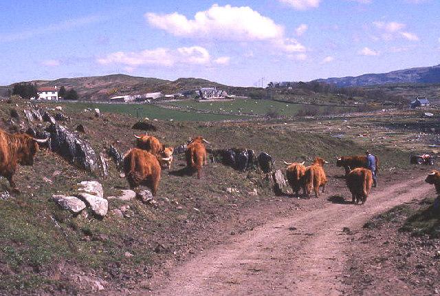 Highland cattle at Keills beyond Tayvallich