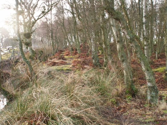 Birch wood, Bankhead Moss