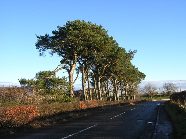 Stand of Pines at Carscallan