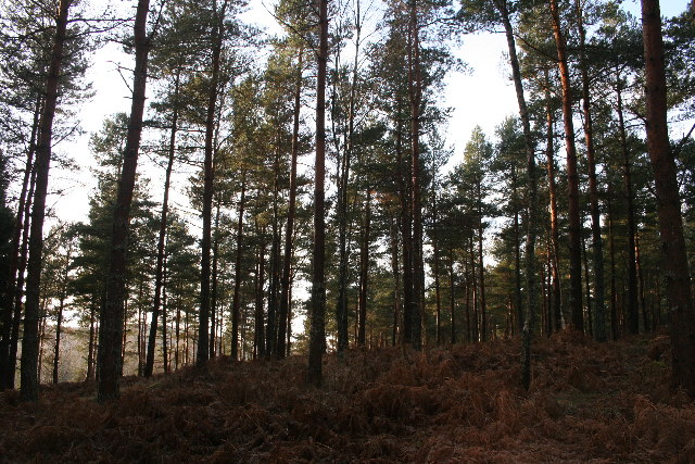 Scots pine in Commonty Wood
