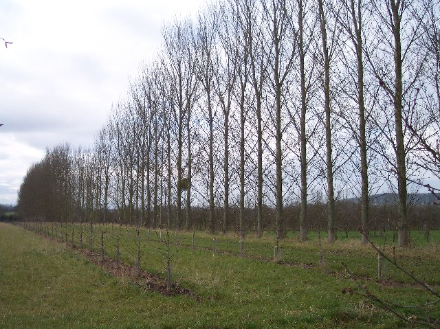 Poplars and Apple Orchard