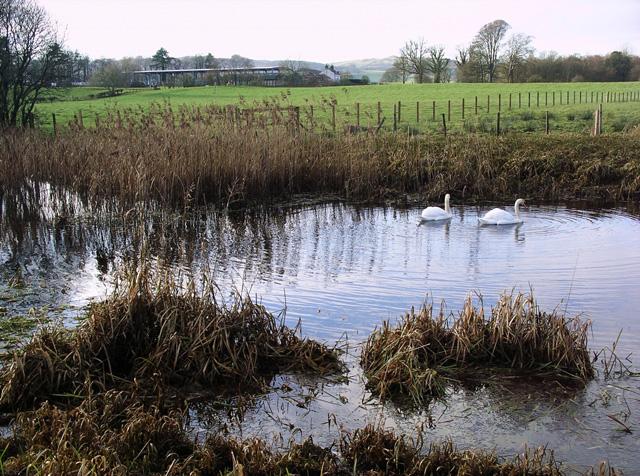 Swans on Valison Burn