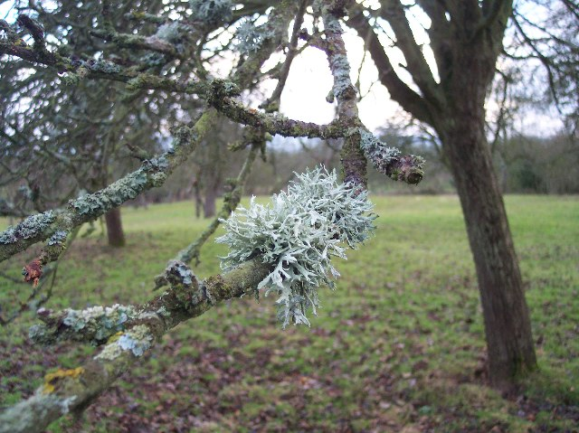 Prunastri Lichen on Apple Tree