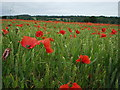 TG0538 : Cornfield with poppies by Phil Champion