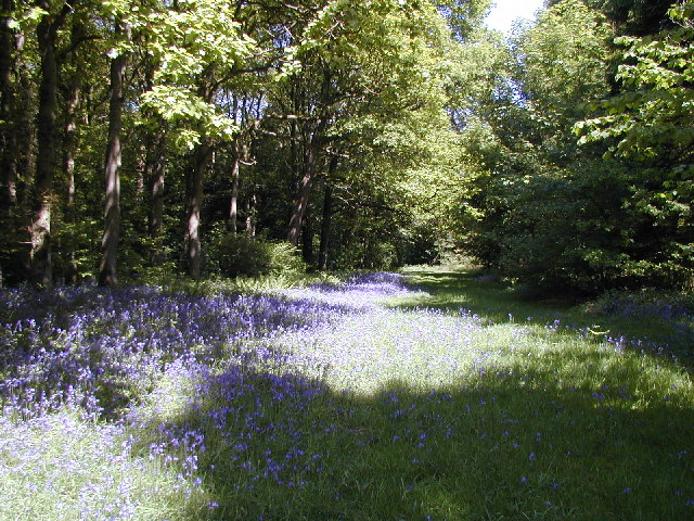 Bluebell woods at Woodside Cottages by the River Eden