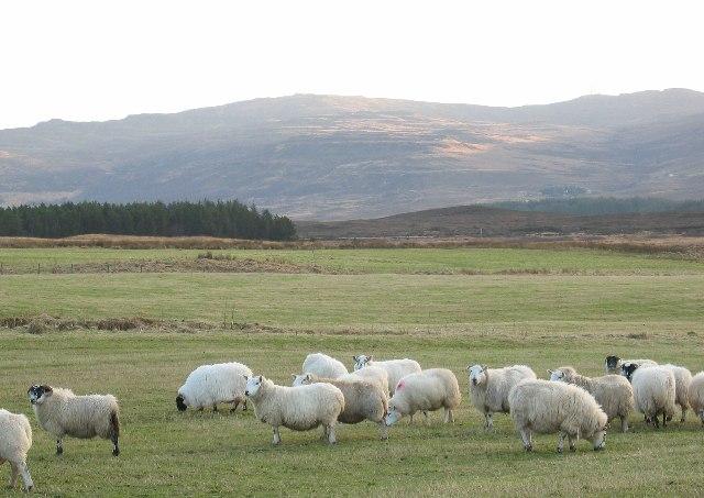 Sheep at Borve