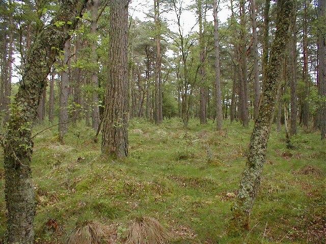 Mature Conifers, Flanders Moss
