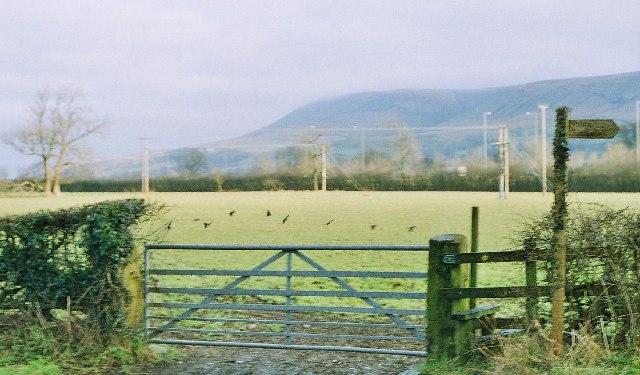 Crows in a Field