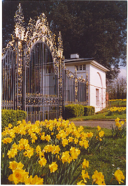 The Golden Gates and Daffodils at Merrow
