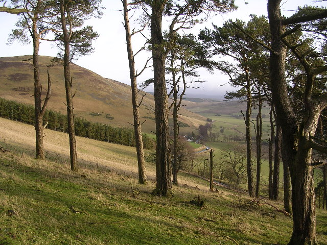 Copse of Pine Trees, looking towards Goseland Hill