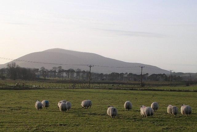 Sheep and Tinto