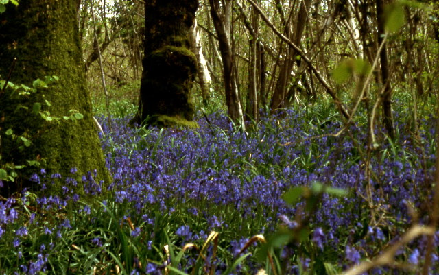 Bluebell woods near Gorwell farm
