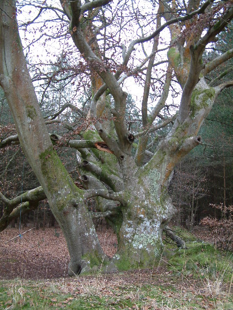 Interesting tree, Ringwood Forest