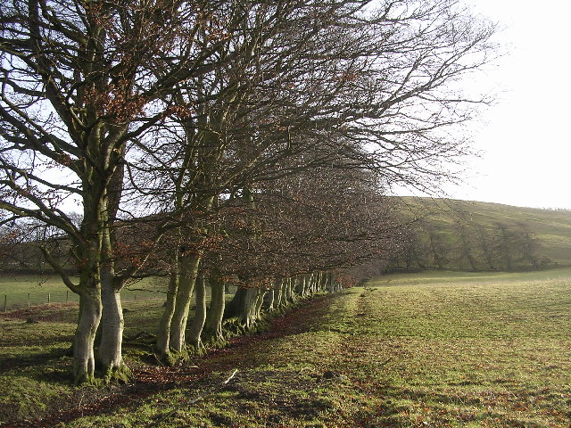 Beech Hedge near Broughton