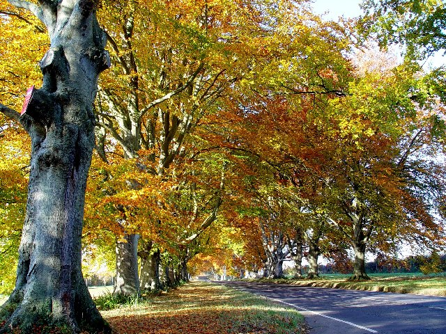 Beech Avenue near Kingston Lacy