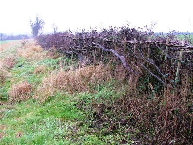 Newly Laid Hedge, Off Station Road