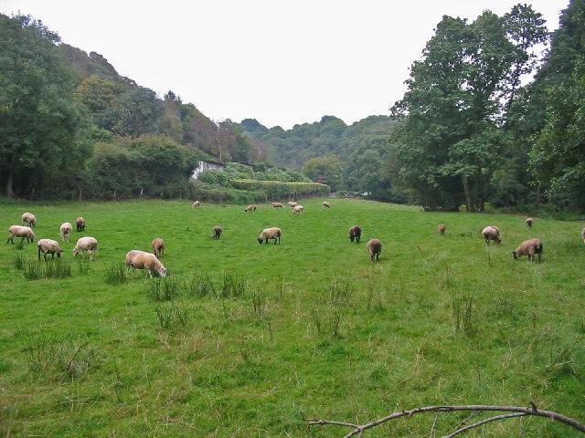 Sheep grazing damp pasture Mineshop Cornwall