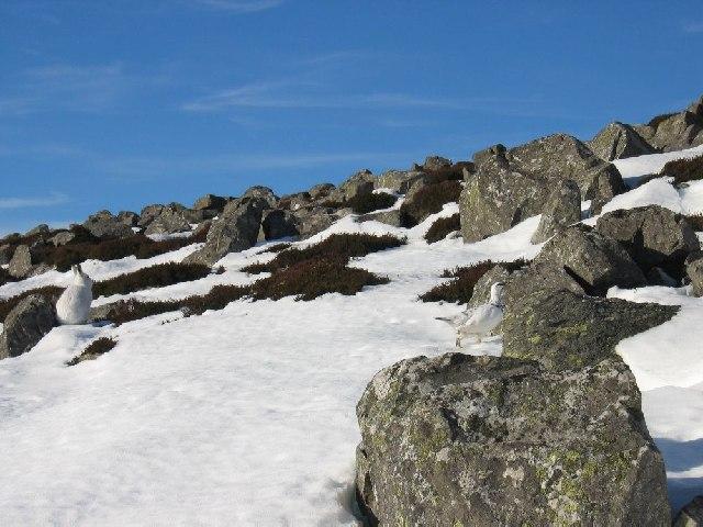 Mountain Hare & Ptarmigan